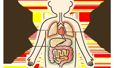 胸膜、心膜、腹膜の位置のイラスト