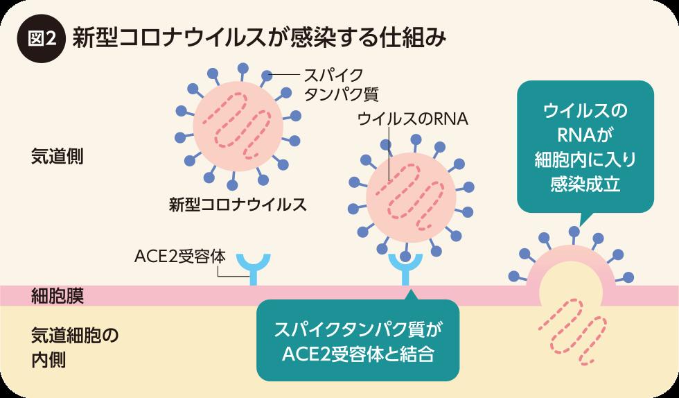 気管支 喘息 コロナ